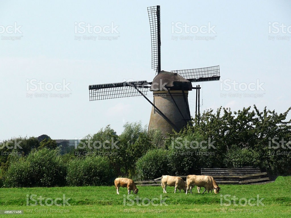 Cow Grazing Close To Dutch Windmill In The Netherlands stock photo