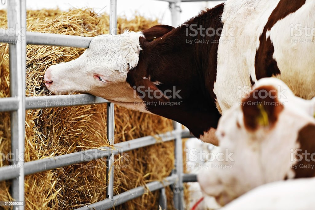 Cow grazing in a cow farm stock photo
