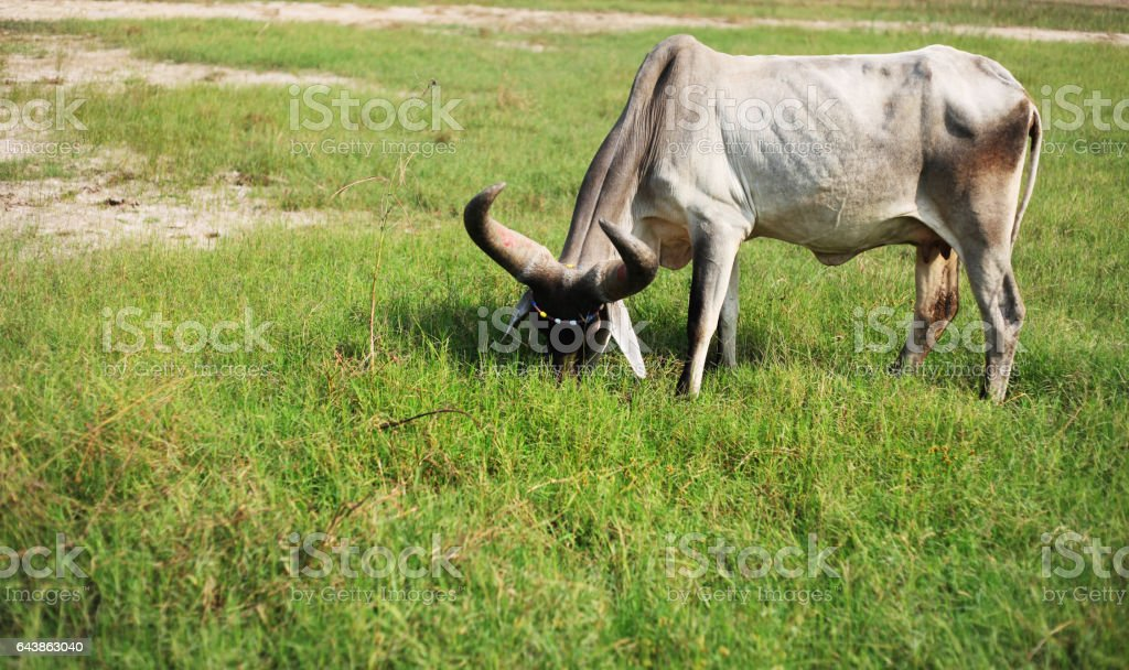 Cow grazing in plains stock photo