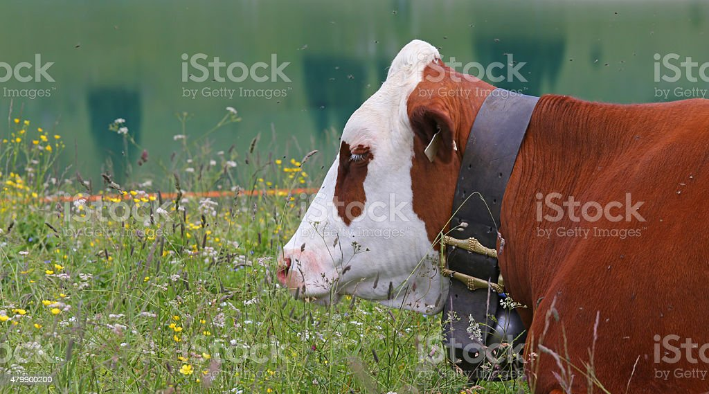 cow grazing in the meadow in the mountains stock photo