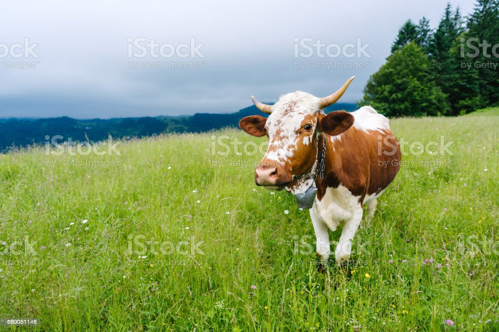 A cow grazing in the mountains on a meadow stock photo
