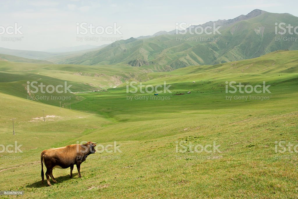 Cow grazing in valley with green mountains of Central Asia stock photo