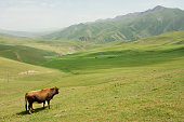Cow grazing in valley with green mountains of Central Asia