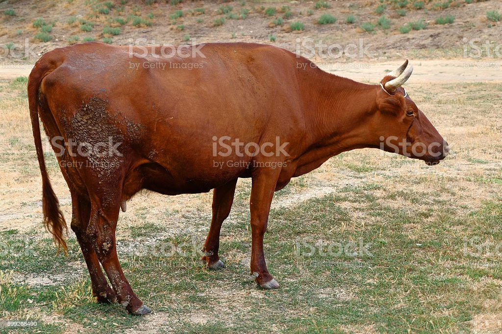 Cow grazing on a depleted pasture. stock photo