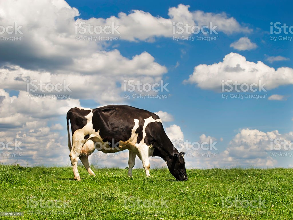 A cow grazing on a hill in a field royalty-free stock photo