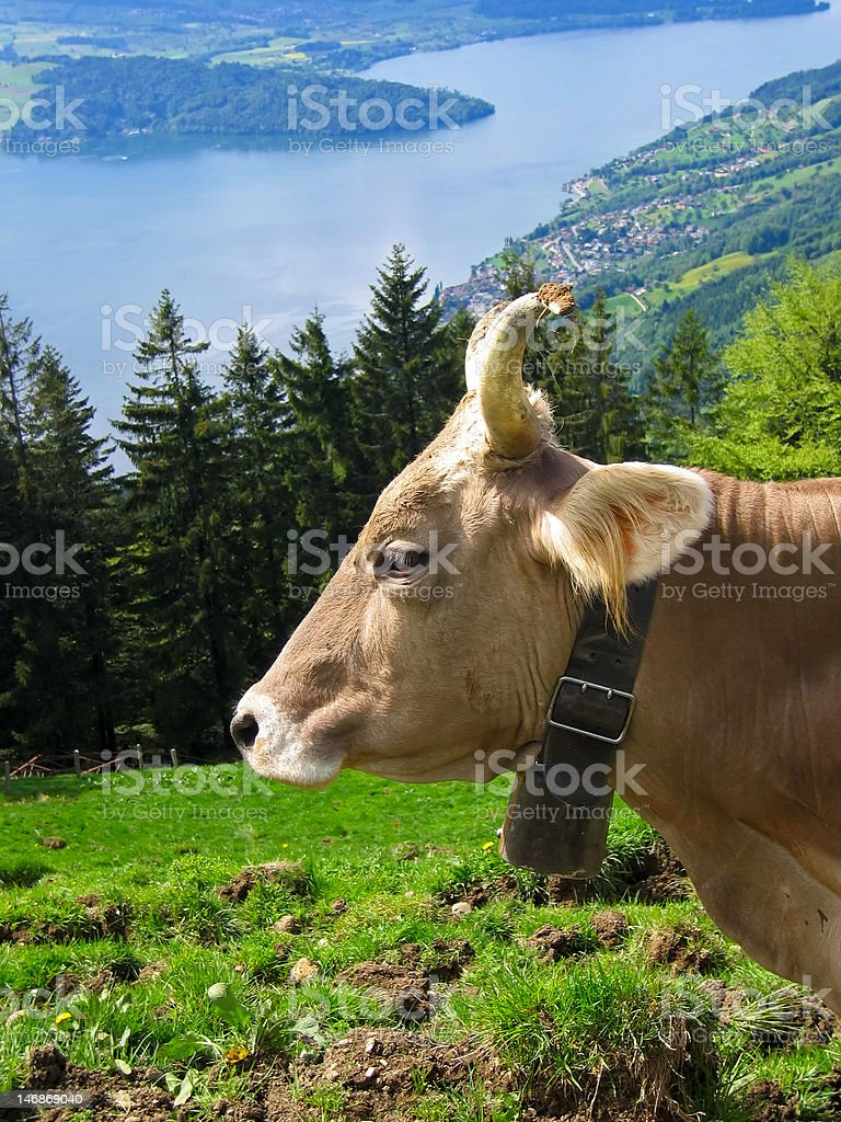 Cow grazing on an alpine pasture royalty-free stock photo