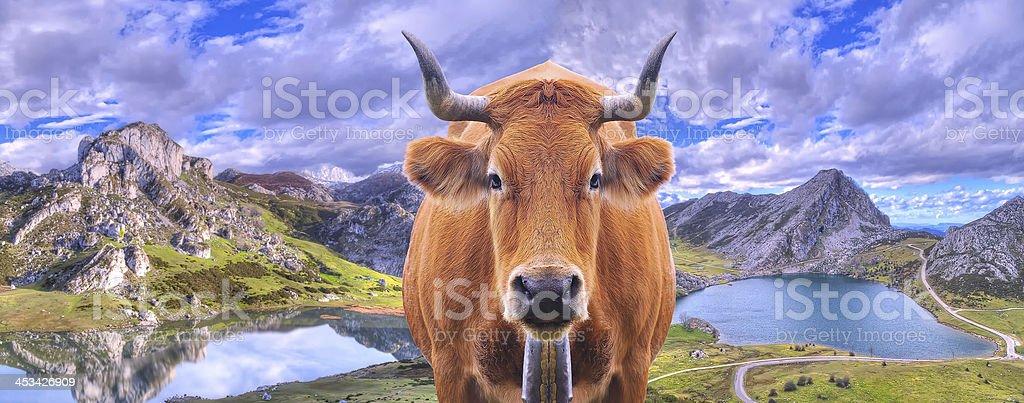 Cow grazing. stock photo