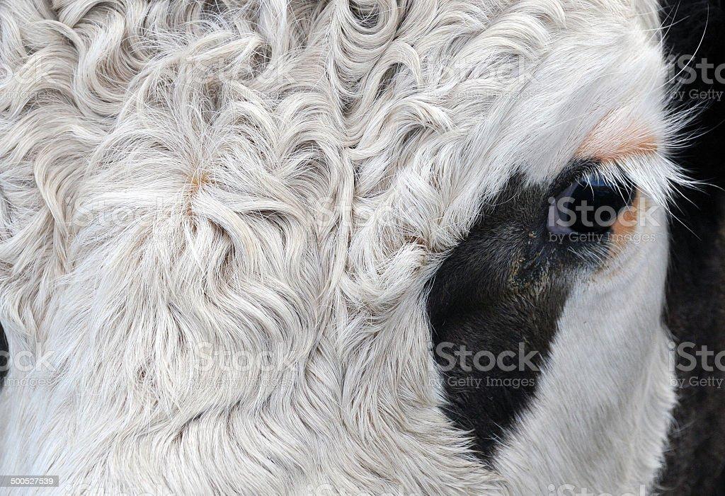 Cow Head royalty-free stock photo