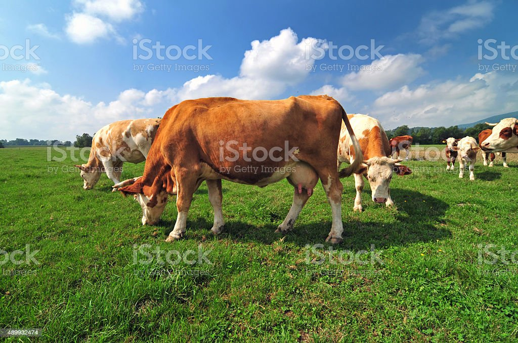 Cow herd in a field stock photo