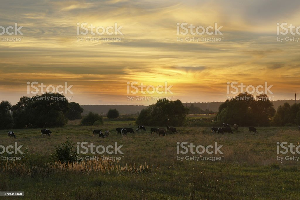 Cow herd in sunset royalty-free stock photo