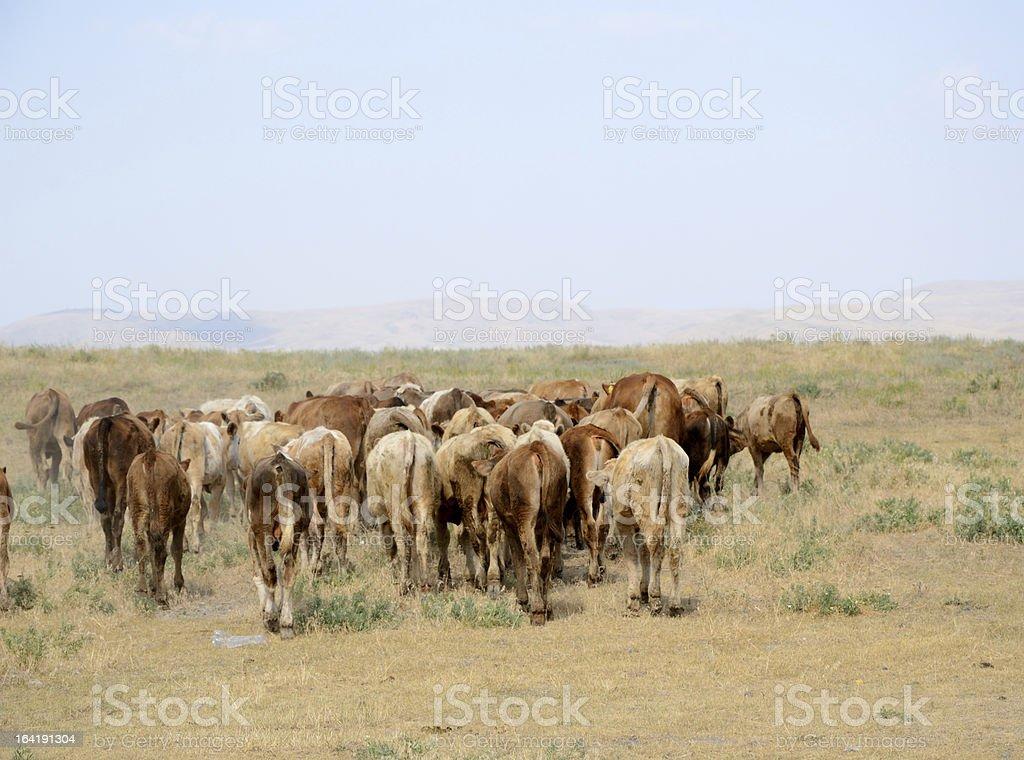 Cow herd royalty-free stock photo