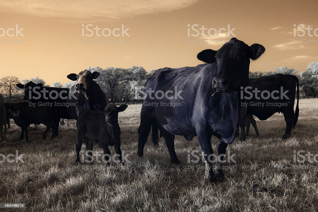 Cow herd royalty-free stock photo
