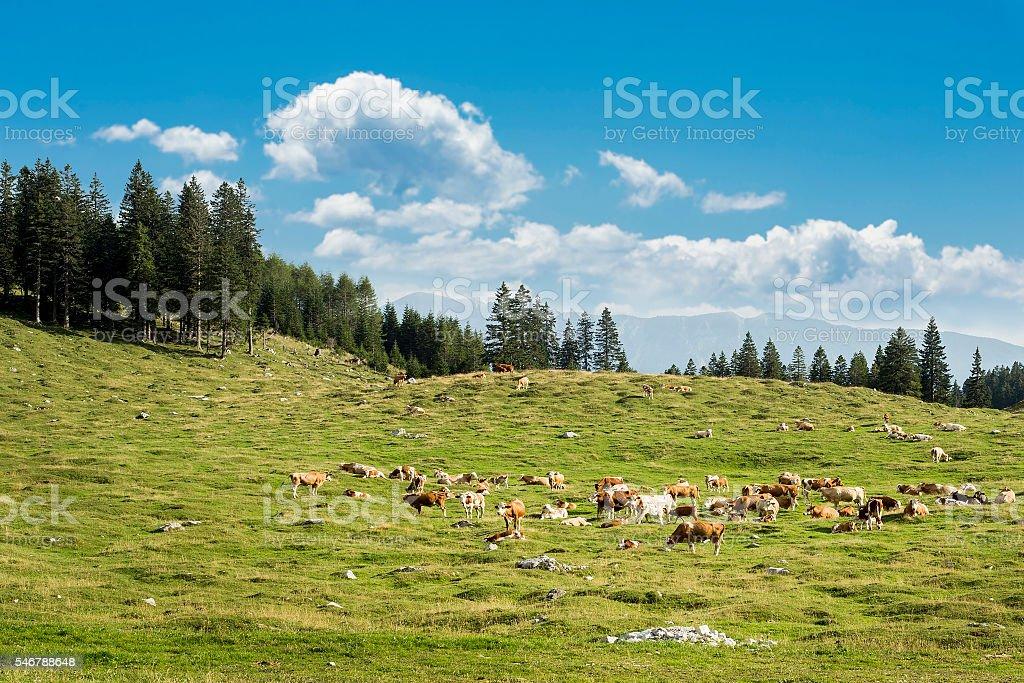 Cow herd stock photo