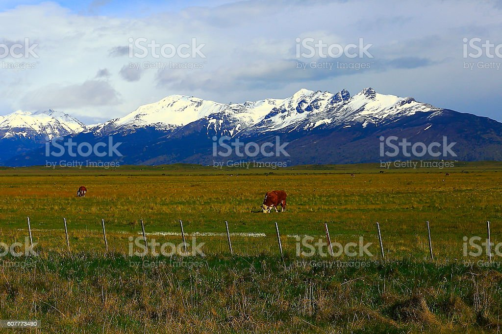 Cow herding, Patagonia mountains, pampa steppe landscape, El Calafate, Argentina stock photo