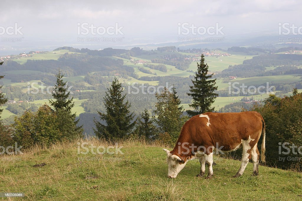 cow high at the alps stock photo