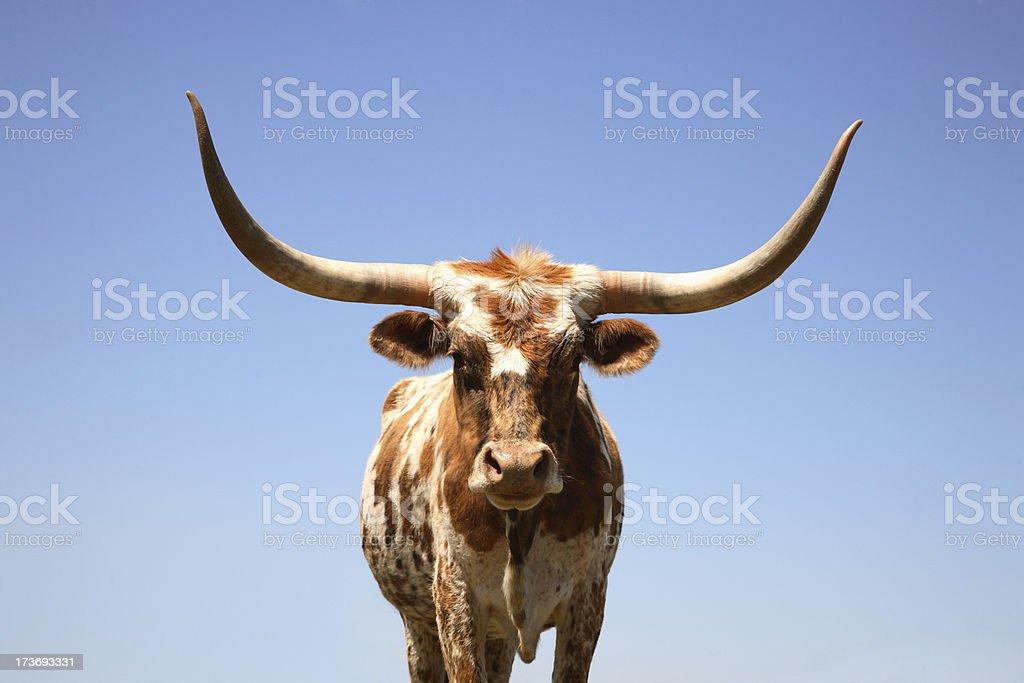 Cow Horn - Texas Longhorn stock photo