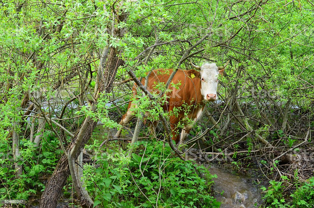 Cow in a bush stock photo