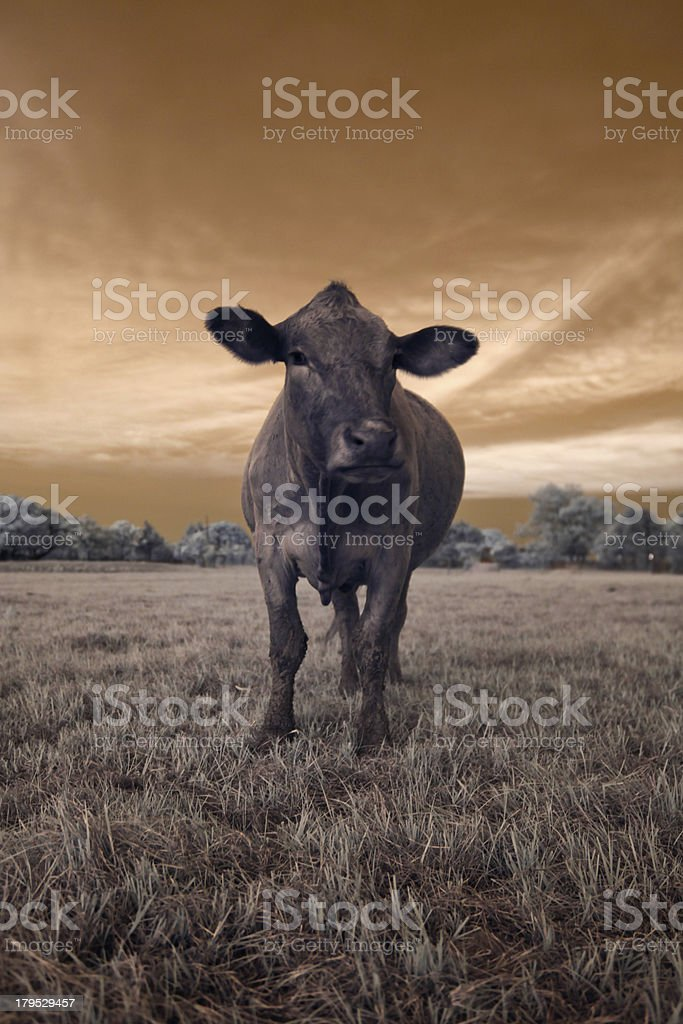 Cow in a field loking grumpy royalty-free stock photo