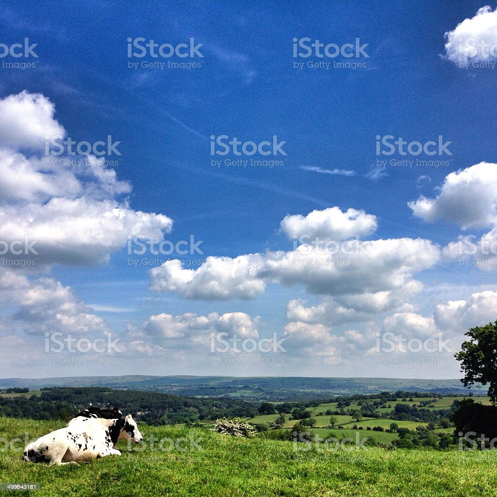 Cow in a field overlooking Staffordshire royalty-free stock photo