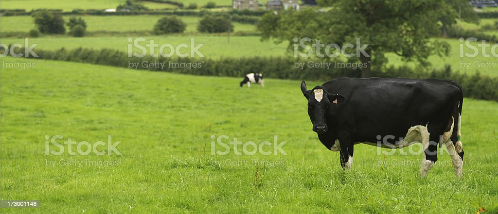 Cow in a field stock photo