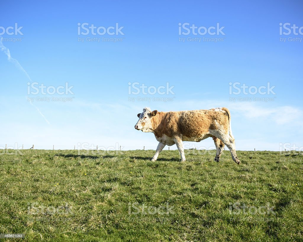 Cow in a field royalty-free stock photo
