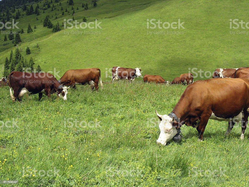 Cow in a high mountain pasture royalty-free stock photo