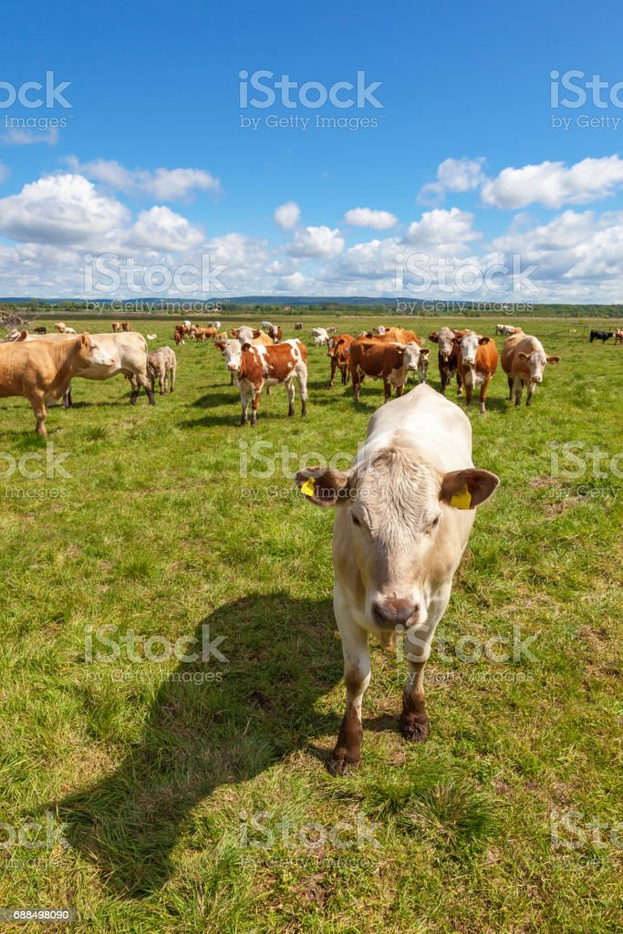 Cow in a meadow with more cows in the background stock photo