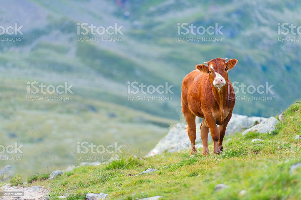 Cow in a pasture in the Swiss Alps stock photo