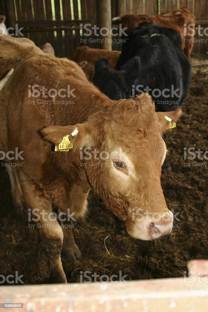 Cow in a Stable royalty-free stock photo