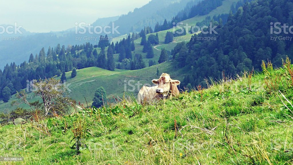 Cow in Allgaeu Alps stock photo