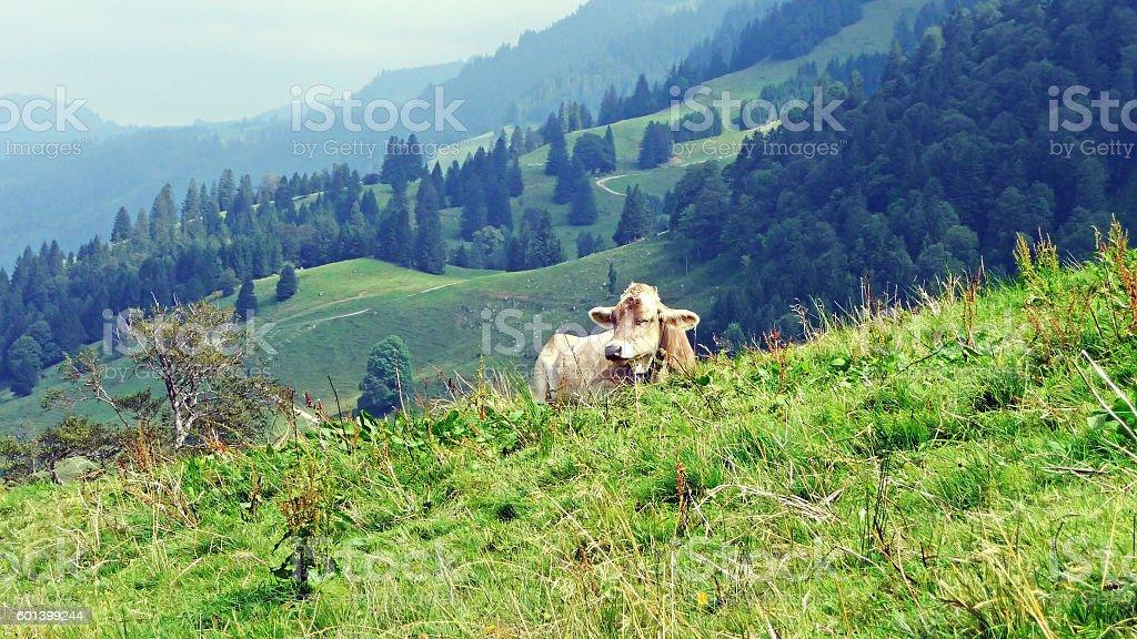 Cow in Allgaeu Alps stock photo