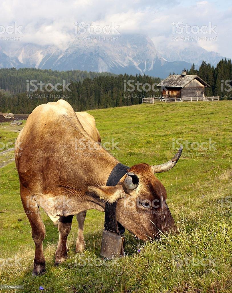 Vache sur un Pâturage dans les Alpes, Dolomites, Italie photo libre de droits