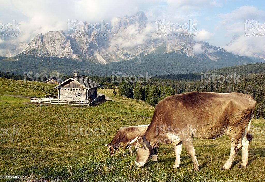 cow (bos primigenius taurus) in alps on pasture royalty-free stock photo