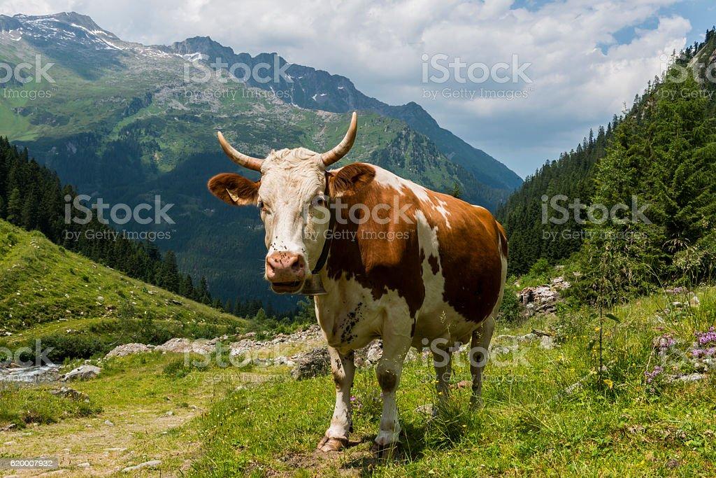 Cow in Austrian Mountains stock photo