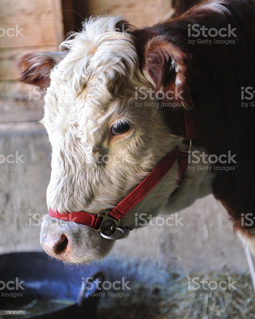 Cow (calf) in Barn stock photo
