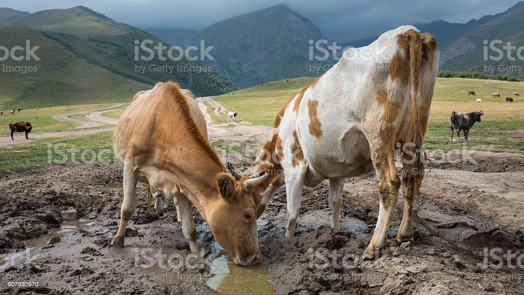 Cow in Caucasus Mountains stock photo