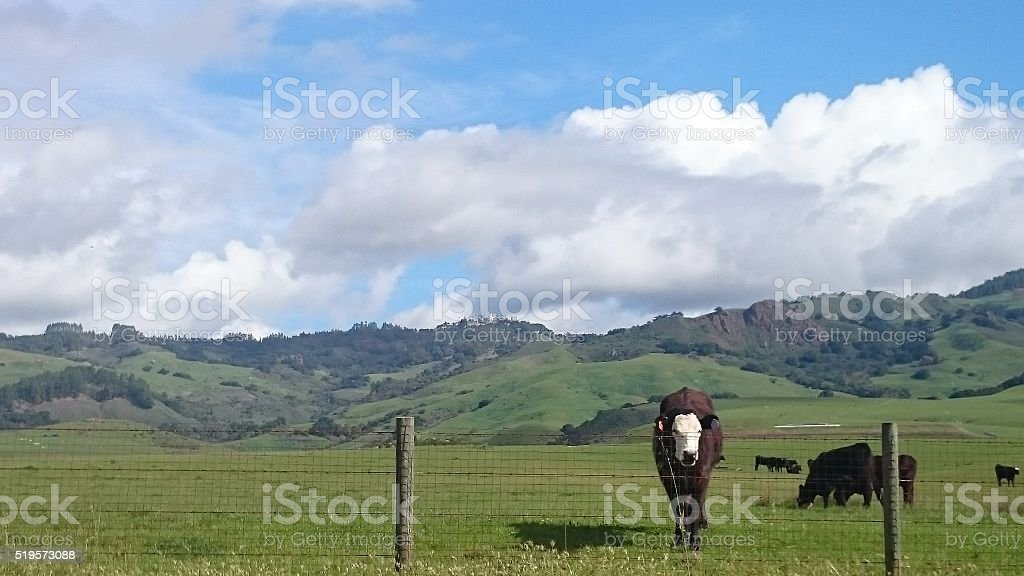 Cow in Central California stock photo