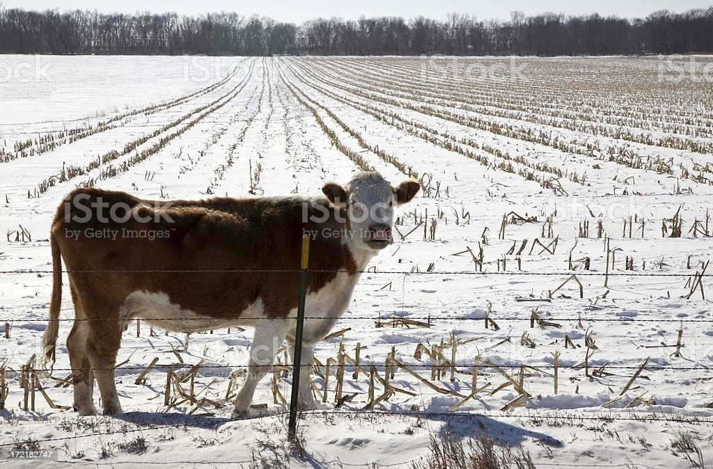 Cow in Cornfield during Winter royalty-free stock photo