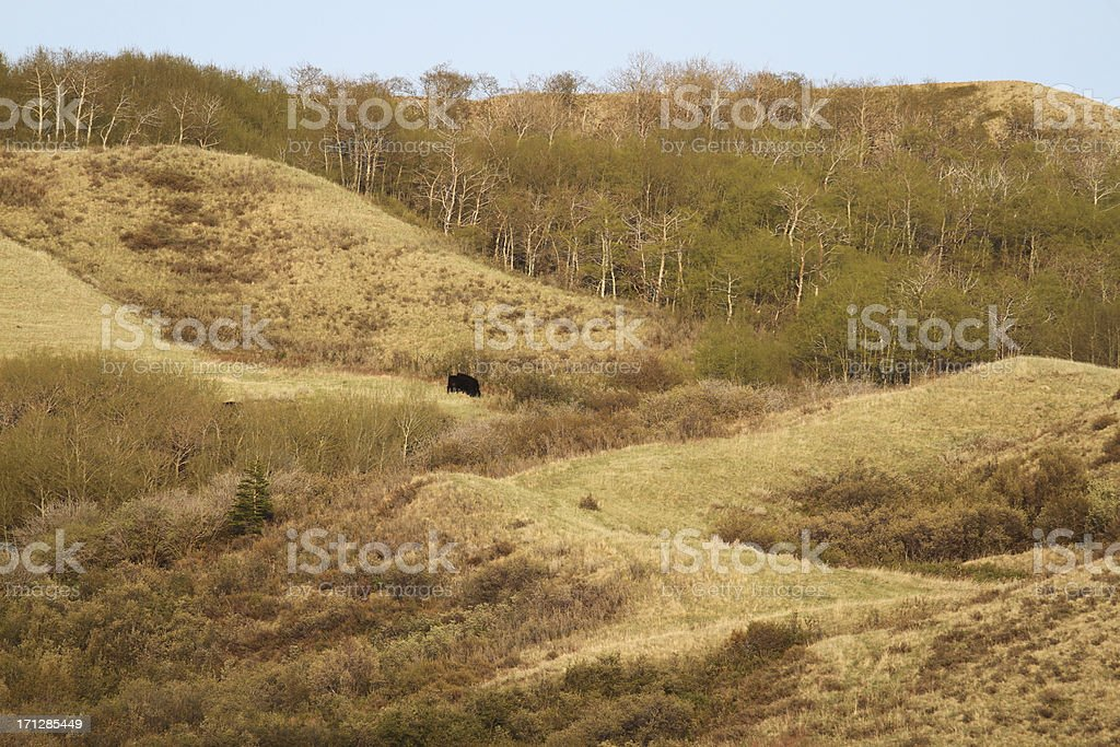 Cow in Cypress Hills royalty-free stock photo