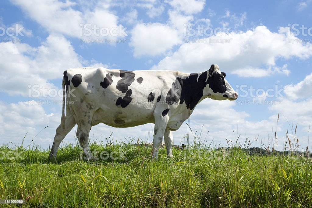 Cow in field, low angle. royalty-free stock photo