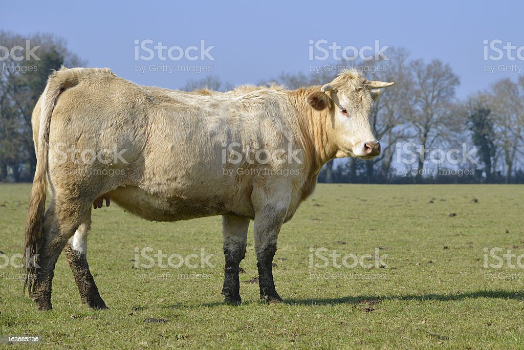 Cow in field royalty-free stock photo