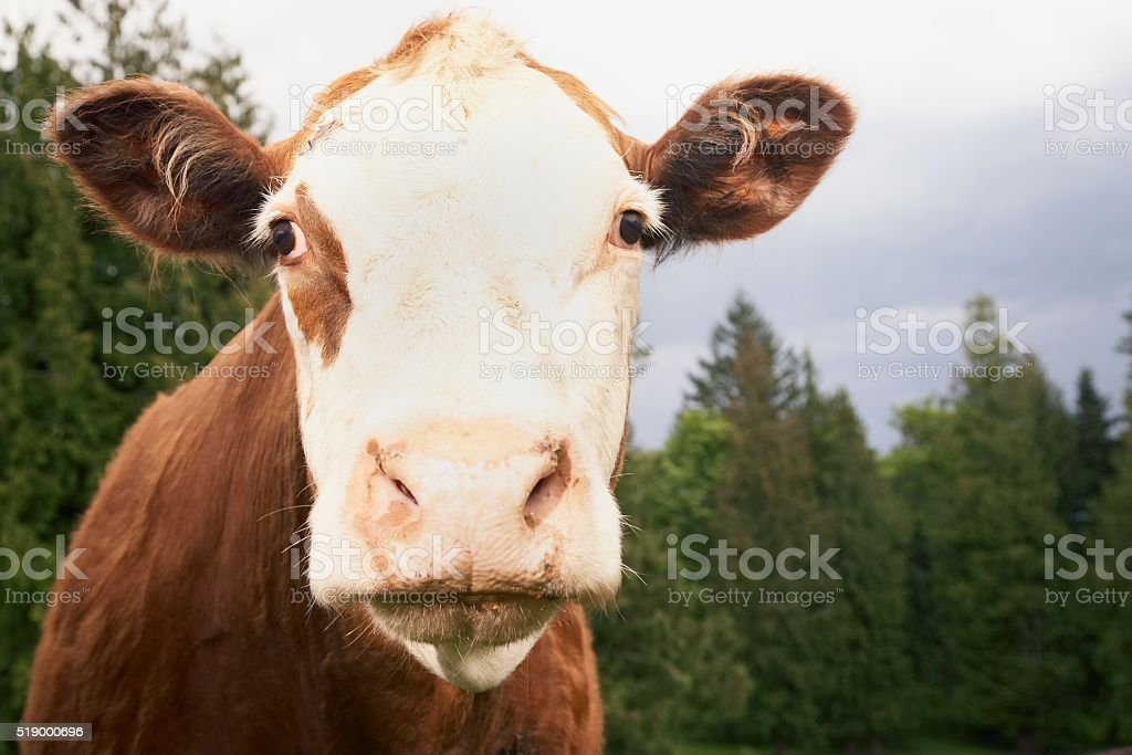 Cow in field stock photo
