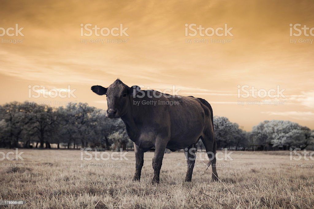 Cow in filed royalty-free stock photo