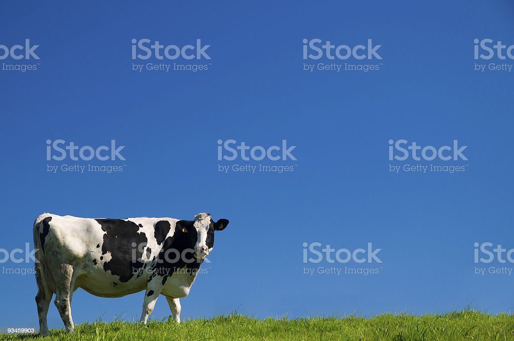 Cow in Galicia (Spain) stock photo