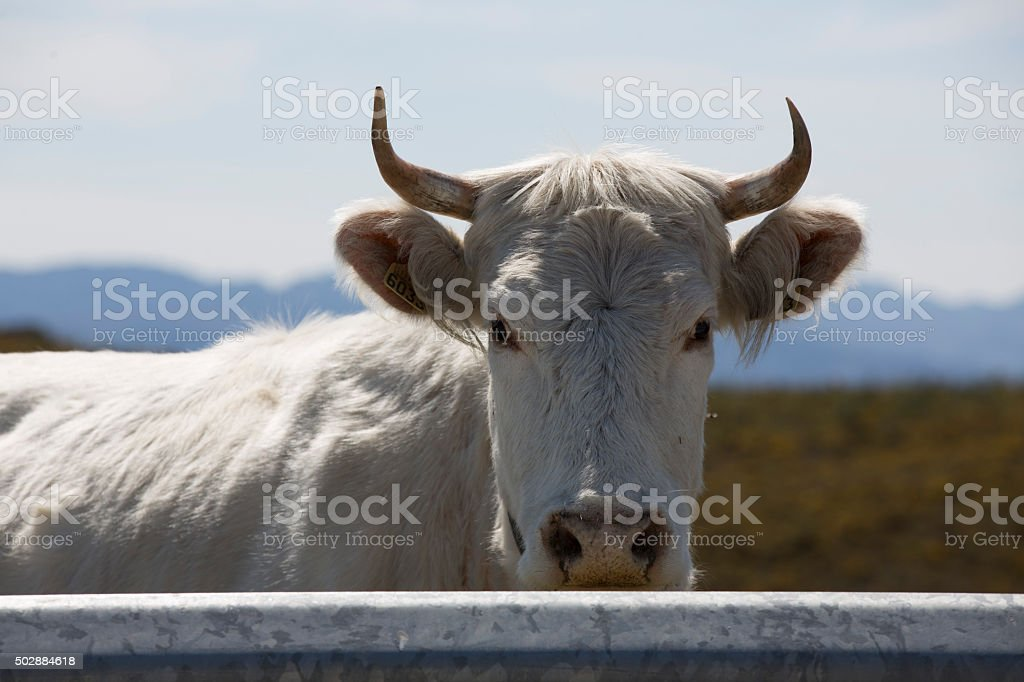 Cow in Gerês Natural Park stock photo