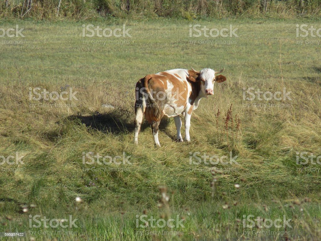 Cow in grass field stock photo