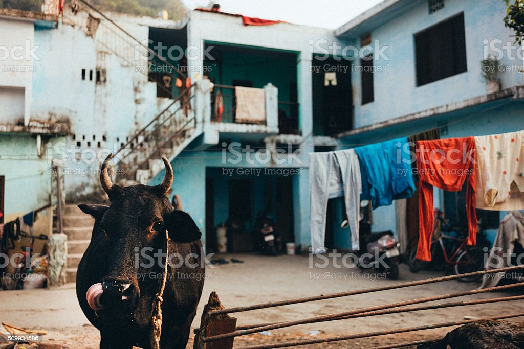 Cow in India stock photo