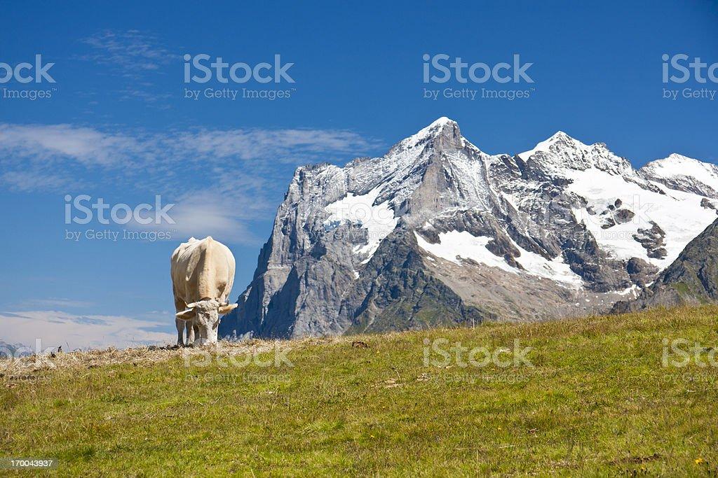 Cow In Mountain Landscape, Swiss Alps royalty-free stock photo