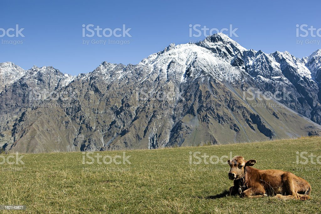 Cow in mountains royalty-free stock photo