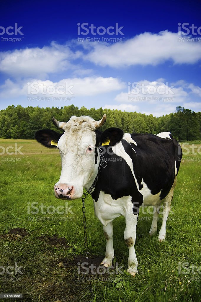 Cow in natural scenery royalty-free stock photo